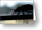 Walking Tightrope Greeting Cards -  Beatle on the saddle Greeting Card by Renato Sensibile