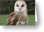 Barbara Mcmahon Greeting Cards - Barn Owl  Greeting Card by Barbara McMahon