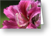 Pink And Purple Greeting Cards - Bauhinia blakeana - Hong Kong Orchid - Hawaiian Orchid Tree  Greeting Card by Sharon Mau