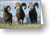 Thelightscene Greeting Cards - Big Horn Sheep Greeting Card by Bob Christopher