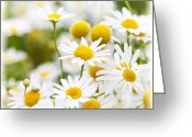 Outside Photo Greeting Cards - Chamomile flowers Greeting Card by Elena Elisseeva