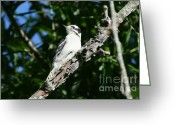 Woodpecker Photos Greeting Cards - Downy Woodpecker Portrait Greeting Card by Neal  Eslinger