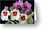 Exotic Orchid Greeting Cards - Gorgeous Orchids Greeting Card by Garry Gay