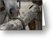 Quarter Horses Greeting Cards - Muzzles Greeting Card by Amber Kresge