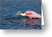 Roseate Spoonbill Greeting Cards - Roseate Spoonbill Greeting Card by Cindi Ressler