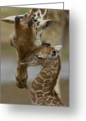 Infant Photo Greeting Cards - Rothschild Giraffe Greeting Card by San Diego Zoo