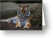 Siberian Tiger Greeting Cards - Siberian tiger Greeting Card by Svetlana Sewell