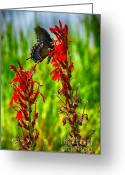 Spicebush Greeting Cards - Spicebush Swallowtail on Cardinal Flower Greeting Card by Thomas R Fletcher