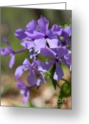Adam Long Greeting Cards - Sweet William Purple Wildflower Springtime Greeting Card by Adam Long
