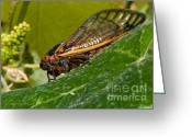 Cicada Greeting Cards - 17 Year Cicada 3 Greeting Card by Lara Ellis