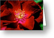 Lit Greeting Cards - A Rose is a Rose Greeting Card by Robert Harmon