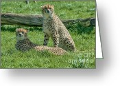 Acinonyx Greeting Cards - 2 Cheetahs Greeting Card by Chris Thaxter