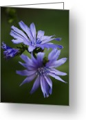 Chic Greeting Cards - Chicory Greeting Card by Christina Rollo