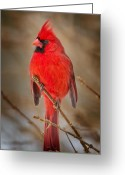 Red Birds Greeting Cards - Northern Cardinal Greeting Card by Bill  Wakeley