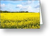 Cornfield Greeting Cards - rapeseed oil field in the English countryside Greeting Card by Fizzy Image