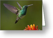 Square_format Greeting Cards - Snowy-bellied Hummingbird Greeting Card by Heiko Koehrer-Wagner