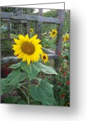 Schiabor Greeting Cards - Sunflower Greeting Card by Eric  Schiabor