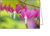 Valentine Tenderness Greeting Cards - Bleeding Heart - VanDusen Botanical Garden Greeting Card by May L