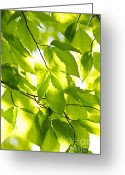 Backlit Greeting Cards - Green spring leaves Greeting Card by Elena Elisseeva