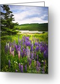 Blooms Photo Greeting Cards - Lupin flowers in Newfoundland Greeting Card by Elena Elisseeva
