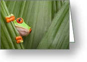 Red Eyed Leaf Frog Greeting Cards - Red Eyed Tree Frog  Greeting Card by Dirk Ercken