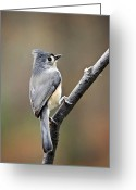 Titmouse Greeting Cards - Tufted Titmouse Greeting Card by Christina Rollo