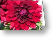 Ete Greeting Cards - Dahlia named Nuit Dete Greeting Card by J McCombie
