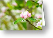 Pink Flower Branch Greeting Cards - Prunus genus - Pink Cherry Blossom flower on a warm spring day Greeting Card by Fizzy Image