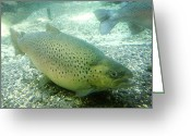 Animal Sport Greeting Cards - Rainbow trout Greeting Card by Les Cunliffe