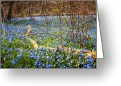 Meadow Greeting Cards - Spring blue flowers glory-of-the-snow Greeting Card by Elena Elisseeva