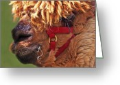Teenage Greeting Cards - Alpaca Punk Greeting Card by Terril Heilman