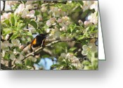 American Redstart Greeting Cards - American Redstart Greeting Card by Frank Piercy
