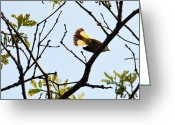 American Redstart Greeting Cards - American Redstart Greeting Card by Jaunine Ammerman