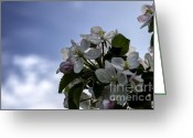 Bruno Santoro Greeting Cards - Apple Blossom 1 Greeting Card by Bruno Santoro