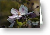 Bruno Santoro Greeting Cards - Apple Blossom Greeting Card by Bruno Santoro