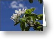 Bruno Santoro Greeting Cards - Apple Blossoms In Blue Greeting Card by Bruno Santoro