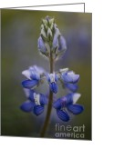 Toxic Greeting Cards - Arctic Lupine  Greeting Card by Priska Wettstein