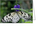 White And Purple Wings Greeting Cards - Asian Swallowtail Butterfly and Jasmine Greeting Card by Gail Matthews