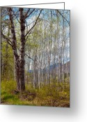 Recreation Mixed Media Greeting Cards - Aspen Trees Proudly Standing Greeting Card by Omaste Witkowski