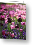 Backlit Greeting Cards - Backlit Tulips Greeting Card by Jessica Jenney
