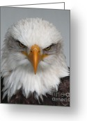 Barbara Mcmahon Greeting Cards - Bald Eagle Stare Greeting Card by Barbara McMahon