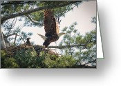 Raptor Greeting Cards - Bald Eagle with Eaglet Greeting Card by Everet Regal