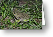 Brown Frog Greeting Cards - Barking Tree Frog Greeting Card by Al Powell Photography USA