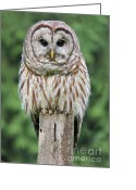 Washington Post Greeting Cards - Barred Owl on a Fence Post Greeting Card by Jennie Marie Schell