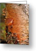 Larry Ricker Greeting Cards - Birch Tree 1 Greeting Card by Larry Ricker