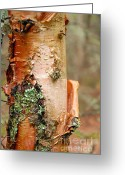 Larry Ricker Greeting Cards - Birch Tree 2 Greeting Card by Larry Ricker
