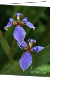 Florida Flowers Greeting Cards - Blue Walking Iris Greeting Card by Carol Groenen