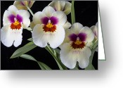 Exotic Orchid Greeting Cards - Bright Miltonia Orchids Greeting Card by Garry Gay