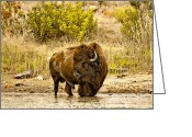 Graze Photo Greeting Cards - Bull Bison At Creekside Greeting Card by Robert Frederick