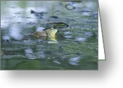Bill Cannon Greeting Cards - Bull Frog Pond Greeting Card by Bill Cannon